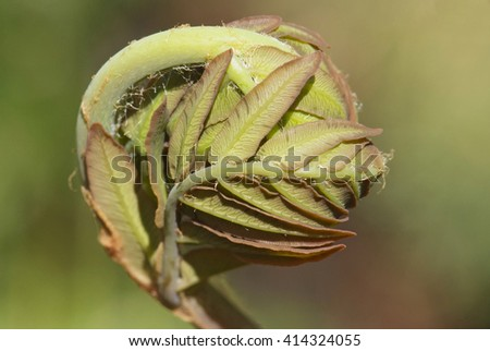 close up young leaf of fern Osmunda regalis