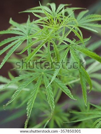close up Young leaf of marijuana plant detail.Selective focus. Low depth of field.