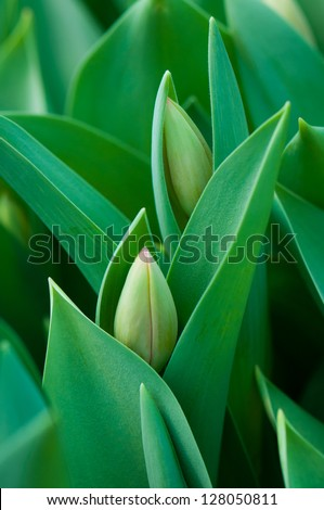 Close up young plant tulip in the garden - stock photo