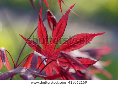close up young red leaves of Acer palmatum