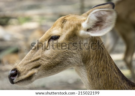Close up Young Swamp Deer or Rucervus Duvaucelii - stock photo