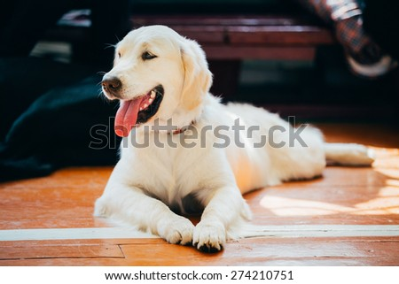 Close Up Young White Golden Labrador Retriever Dog Sitting On Wooden Floor - stock photo