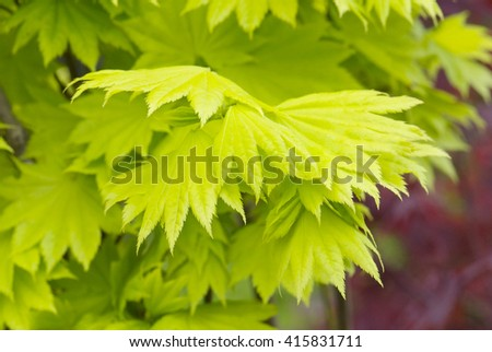 close up young yellow leaves of maple Acer japonicum aureum