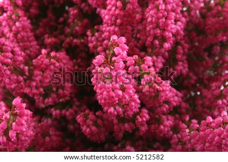 close-ups of bunch of heather - stock photo