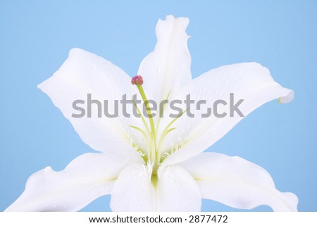 close-ups of white lily flower on blue background