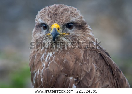 Close view at the young hunter falcon - stock photo