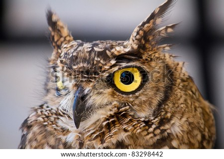 Close view detail of a Spotted Eagle-owl (Bubo africanus). - stock photo