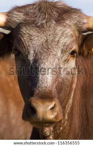 Close view of a brown cow on a sunny arid landscape.