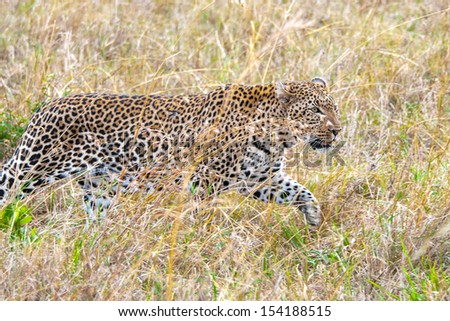 Close view of a cheetah in the grass - stock photo