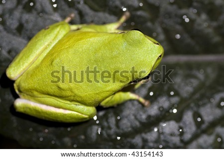 Close view of a common green european tree frog on top of a leaf. - stock photo