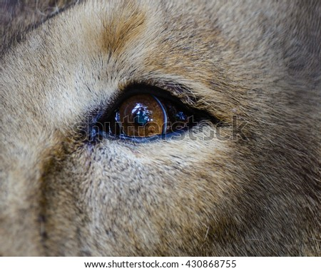 Close view of a male Lion Eye