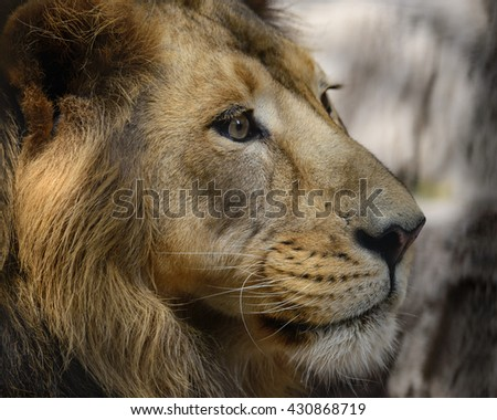 Close view of a male Lion face - stock photo