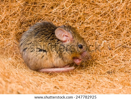 Close view of a tiny house mouse (Mus musculus) cleaning himself in shelter - stock photo