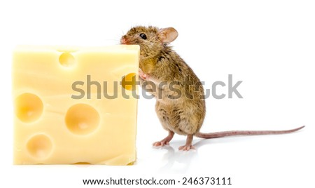 Close view of a tiny house mouse (Mus musculus) eating big cheese - stock photo
