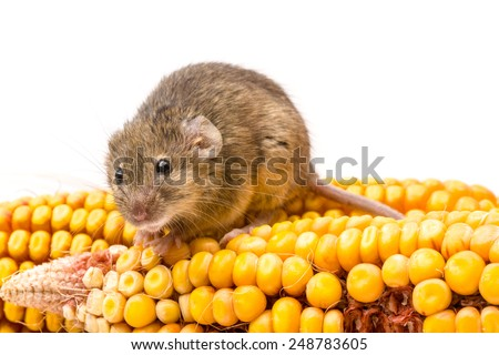 Close view of a tiny house mouse (Mus musculus) on corn cob - stock photo