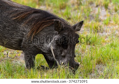 Close view of a Wild boar in the Moremi Game Reserve (Okavango River Delta), National Park, Botswana - stock photo