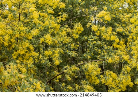 Close view of a yellow mimosa tree branches.