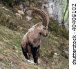 Close view of an old capra ibex standing and looking around - stock photo