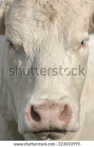 close view of  awhite cow's face - stock photo