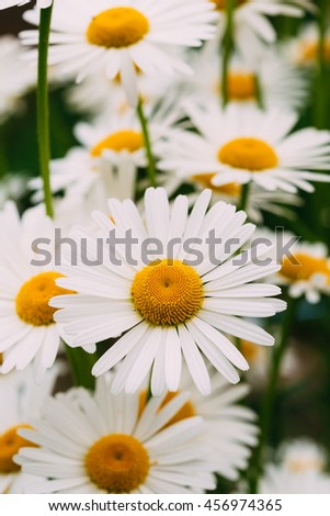Close View Of Chamomile Or Matricaria, Many Beautiful Blooming Garden And Decorative White Flowers With Yellow Inflorescence In The Center In Summer Spring. - stock photo
