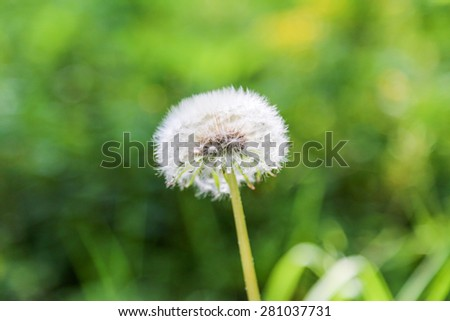 close view of dandelion