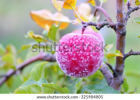 Close view of frost on an autumn apple - stock photo