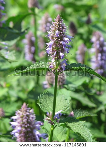 close view of giant hyssop used as spice and salubrious herb - stock photo