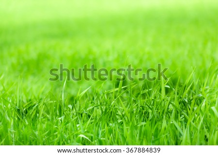 Close view of green field of young wheat in  spring