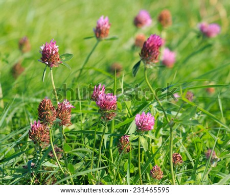 Close view of Red clover (Trifolium pratense) with shallow depth of field - stock photo
