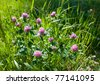 Close view of several red clover heads (trifolium pratense) - stock photo