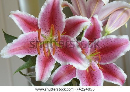 Close view of two stargazer lilies in a vase - stock photo