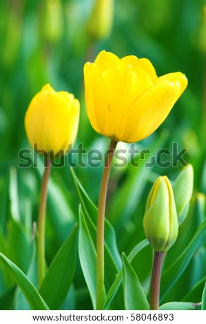 Close view of two yellow tulips with green background - stock photo
