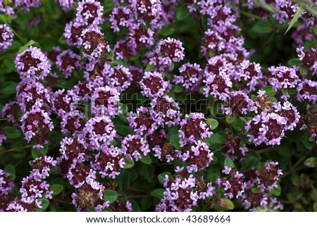 Close view of wilde thyme - stock photo