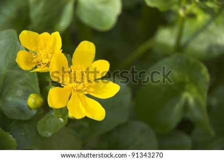 Close view of yellow Marsh Marigold Flowers in Spring