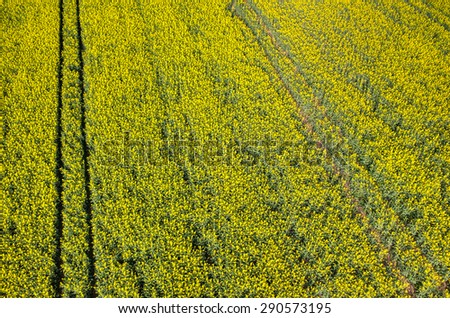 Close view on the yellow colza field - stock photo