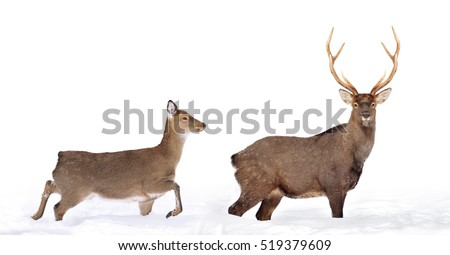 Close young deer isolated on white background