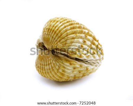 closed scallop shell isolated on a white background.