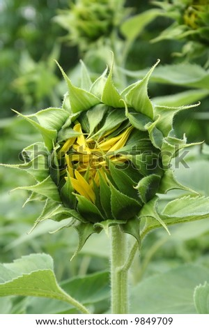 Closed sunflower bud, ready to open