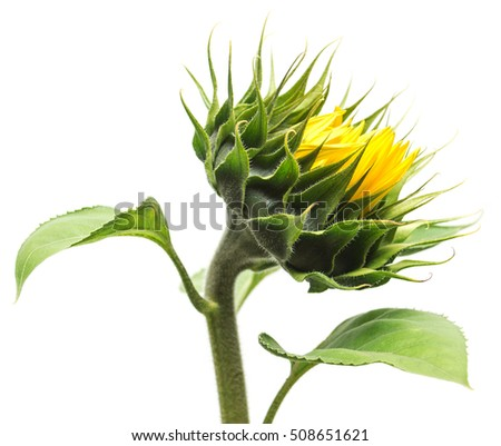 Closed sunflower isolated on white background. Flower. Flat lay, top view
