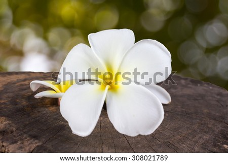 closed up beautiful white flower plumeria or frangipany on natural bokeh background - stock photo