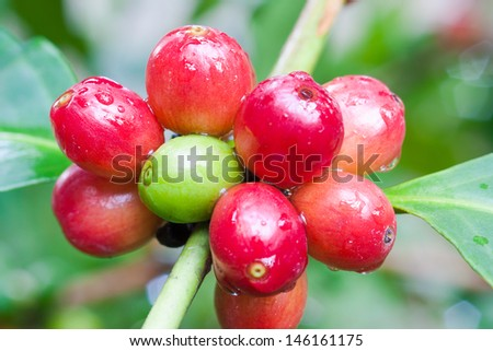 closed up cherry-like coffee bean on tree - stock photo