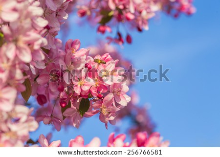 closed up of cherry blossom in japanese park - stock photo