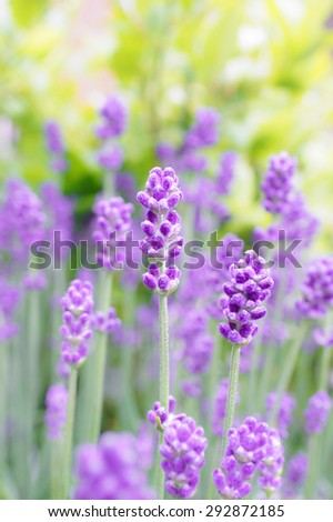 Closed up of English Lavender in Garden, Selective Focus, Blur Background, Spring and Summer Concept  [Vivid Bright Collection] - stock photo