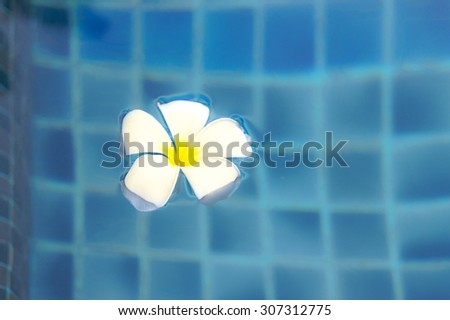 Closed up of Frangipani flower in the swimming pool - stock photo