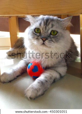 Closed up of portrait Chin chi la/ Silver cat with his red ball , Green eyes cat  - stock photo