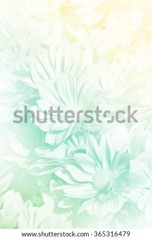 Closed-up of Spray Type of Chrysanthemum (Dendranthemum grandifflora) in Pastel Tone. - stock photo