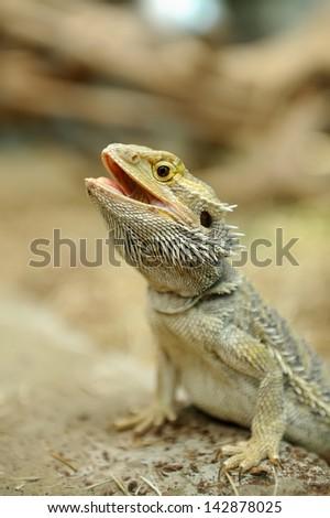Closeup a beautiful Bearded Dragon Lizard - stock photo