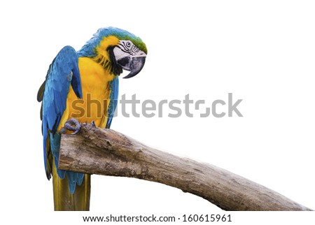 Closeup a beautiful macaw isolate on white background.