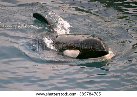 Closeup a killer whale (Orcinus orca) swimming - stock photo