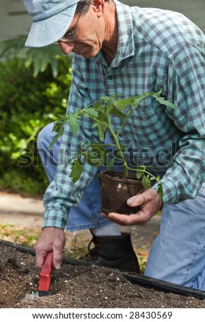 Closeup a mature man planting a tomato plant in the garden
